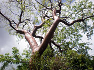 St. Croix's giant tropical trees, such as Saman, Tibit and Tamarind.